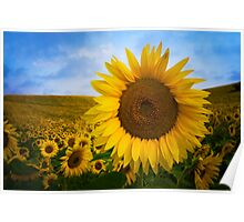 Sunflower Field in Valensole - Provence, France Poster