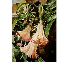 Angel Trumpet Photographic Print
