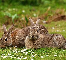 European Rabbits by Nick Leech