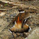 Look My Wing is Broken, Follow Me (Killdeer) by Robert Miesner