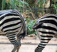 Zebra Striped Duet - Birmingham Zoo by Phil Roberson