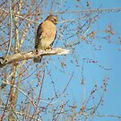 The Unexpected Red-Shouldered Hawk fly's in by David  Hughes