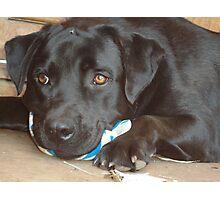 Labradors beauty Photographic Print