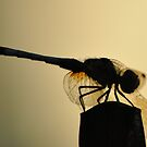 Dragonfly Silhouette by Kim McClain Gregal
