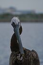 Brown pelican preening by Ben Waggoner
