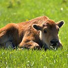 Baby Bison by JamesA1