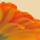 Orange Gerbera Daisy 2, As Is by Kim McClain Gregal