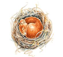 Mouse in the nest Photographic Print