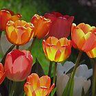 Tulipa by gelillc