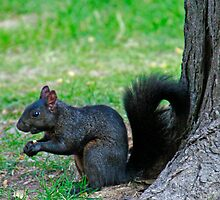 Black Squirrell by GW-FotoWerx