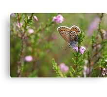 Silver-studded blue on Heather Canvas Print