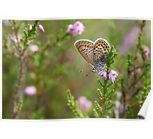Silver-studded blue on Heather Poster