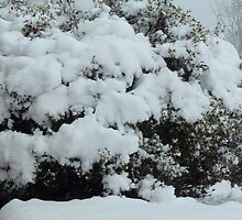 Snow on Azalea Bush by AngieDoo