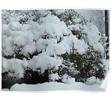 Snow on Azalea Bush Poster