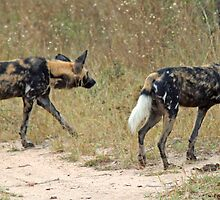 Wild dogs on the hunt by jozi1