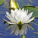Florida water lily by jozi1