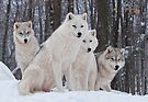 Arctic Wolf Pack by Bill Maynard