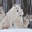 Arctic Wolf Pack by Bill Maynard