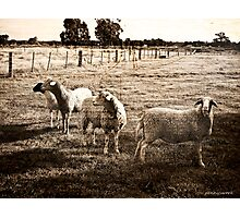 Sheep with Texture Photographic Print