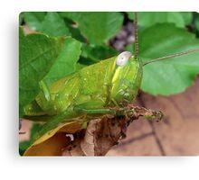 Grasshopper - Close Up Canvas Print
