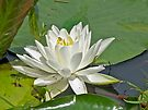 Wild White Water Lily (Nymphaeaceae) by MotherNature