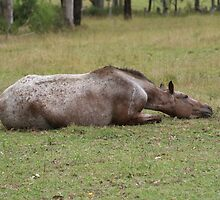 APPALOOSA by Carol Field