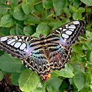 Cooler Shades of the Clipper Butterfly by Ocean1111
