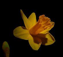 FEBURARY DAFFODIL by RoseMarie747