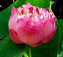Water Lilly - Laos 3. by Angela Gannicott