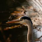 heron concentrating by chrisdeschepper