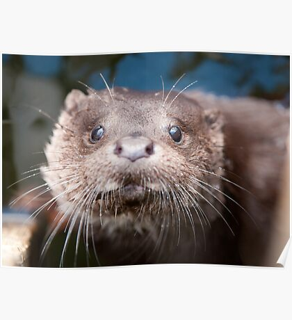 Otter Cub Taking a Look Poster