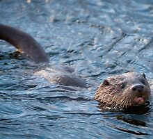 Swimming Wild Otter Cub by memaddock