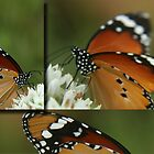 Butterfly Triptych... &quot;Danaus chrysippus (African monarch)&quot; Free State, South Africa by Qnita