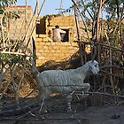 Goat doing Dressage, Near Jaiselmir, Rajasthan, India by RIYAZ POCKETWALA