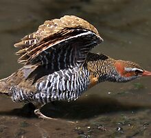Buff banded rail. by trevorb
