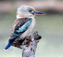 Blue Winged Kookaburra - Townsville Common by Alwyn Simple