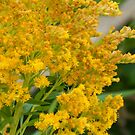 Goldenrod by kenspics