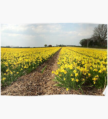 Flowering Daffodils Fields Poster