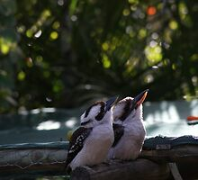 Kookaburras Breakfast - 6 0f a series of 10 pictures Bowen North Queensland by Leigh McGree