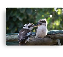 Kookaburras Breakfast - 9 0f a series of 10 pictures Bowen North Queensland Canvas Print