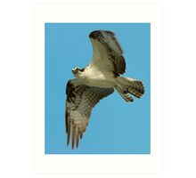Osprey Eye to Eye Art Print