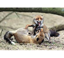 Red Foxes Fighting Photographic Print