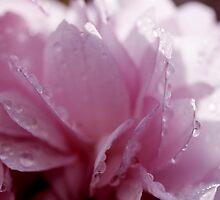 Spring .. Ornamental Cherry Blossom by AnnDixon