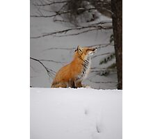 Snowy Red Fox Photographic Print