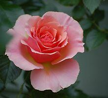 Pink Rose Bud Sweetheart Rose by TangledWood