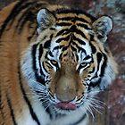 Siberian Tiger at Dusk by TangledWood