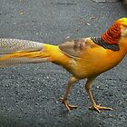Yellow Pheasant by AnnDixon