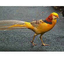 Yellow Pheasant Photographic Print