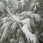 Snowy Australian Pine by John Carpenter