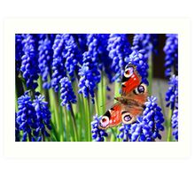 Red Admiral on grape hyacinth Art Print